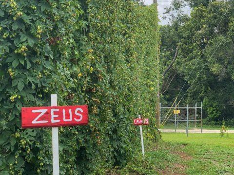 Zeus Hops